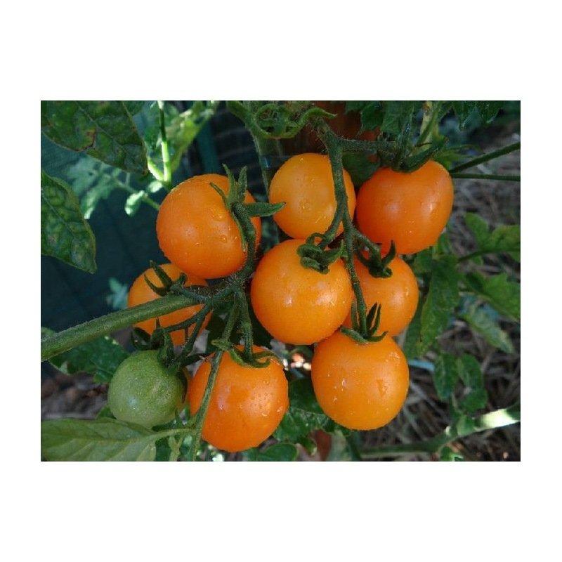 tomate jaune madara