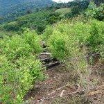 Acuerdo sobre cultivos declarados ilícitos, consumo de drogas y narcotráfico