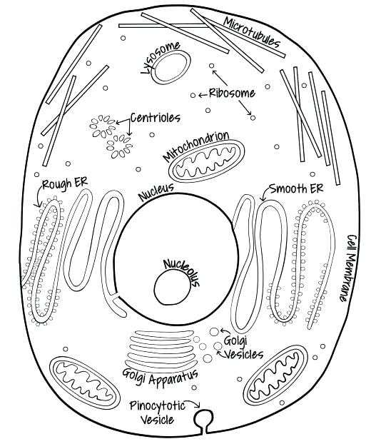 Animal Cell Coloring Worksheet Answers and Plant Cell Drawing at Getdrawings