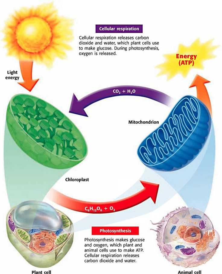 Bozeman Biology Photosynthesis and Respiration Video Worksheet Answers with 65 Best Cellular Respiration Images On Pinterest