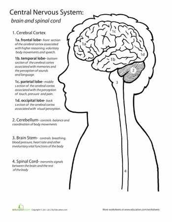 Brain Coloring Worksheet together with 203 Best Brain Images On Pinterest
