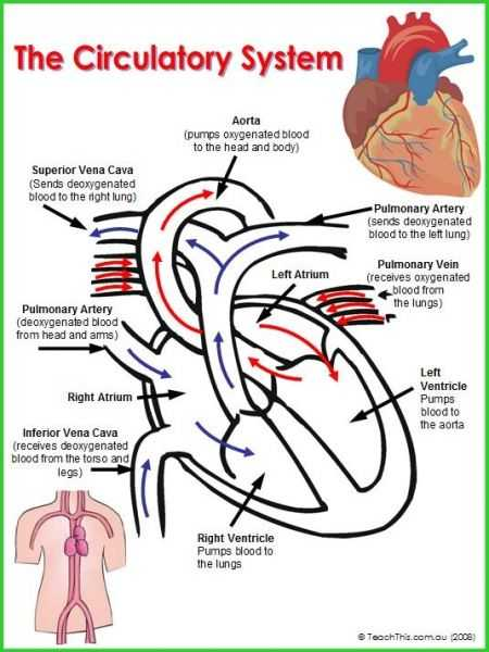 Cardiovascular System Worksheet Answers Along with 618 Best Anatomy and Physiology Images On Pinterest