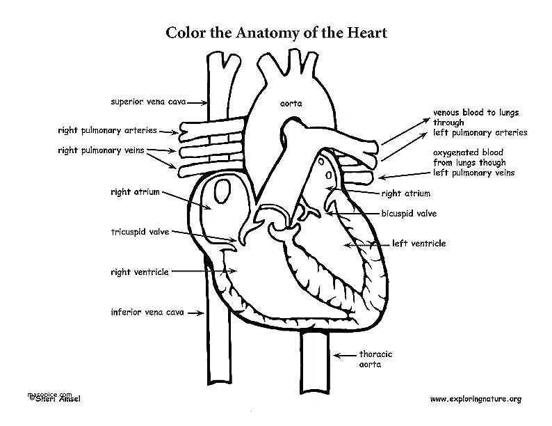 Cardiovascular System Worksheet Answers Along with Circulatory System Worksheet – Bitsandpixelsfo