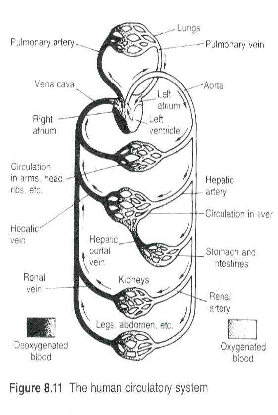Cardiovascular System Worksheet Answers or Circulatory System Worksheet – Bitsandpixelsfo