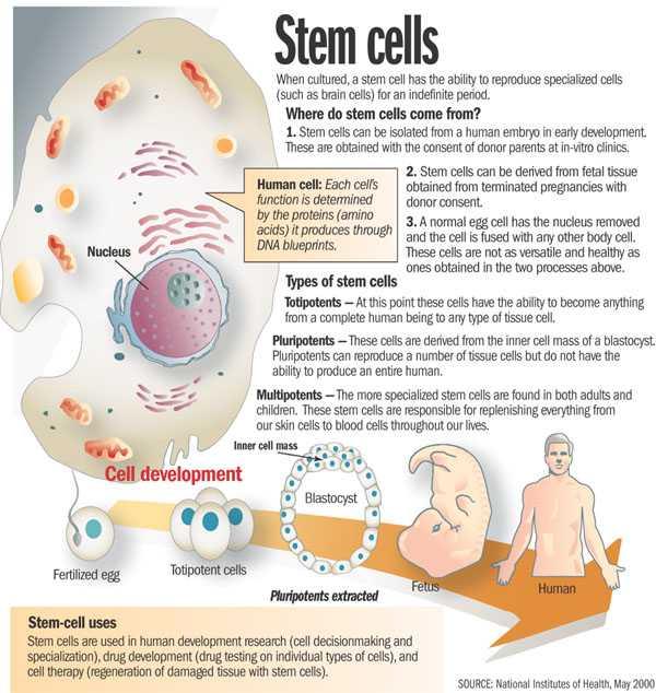 Cell Activity Worksheet Along with Worksheet Stem Cells Cloning Kidz Activities