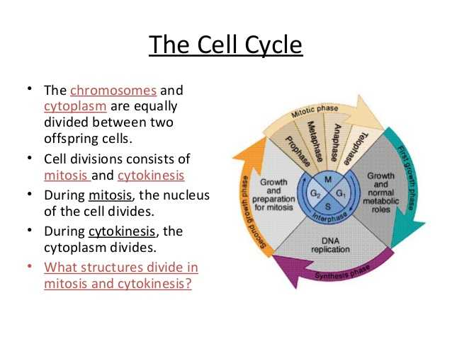 Cell Cycle Coloring Worksheet Also Biology Cell Transport and Cell Cycle 12 06 12 Thursday