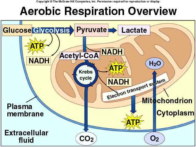 Cellular Respiration Breaking Down Energy Worksheet Answers Also 65 Best Cellular Respiration Images On Pinterest