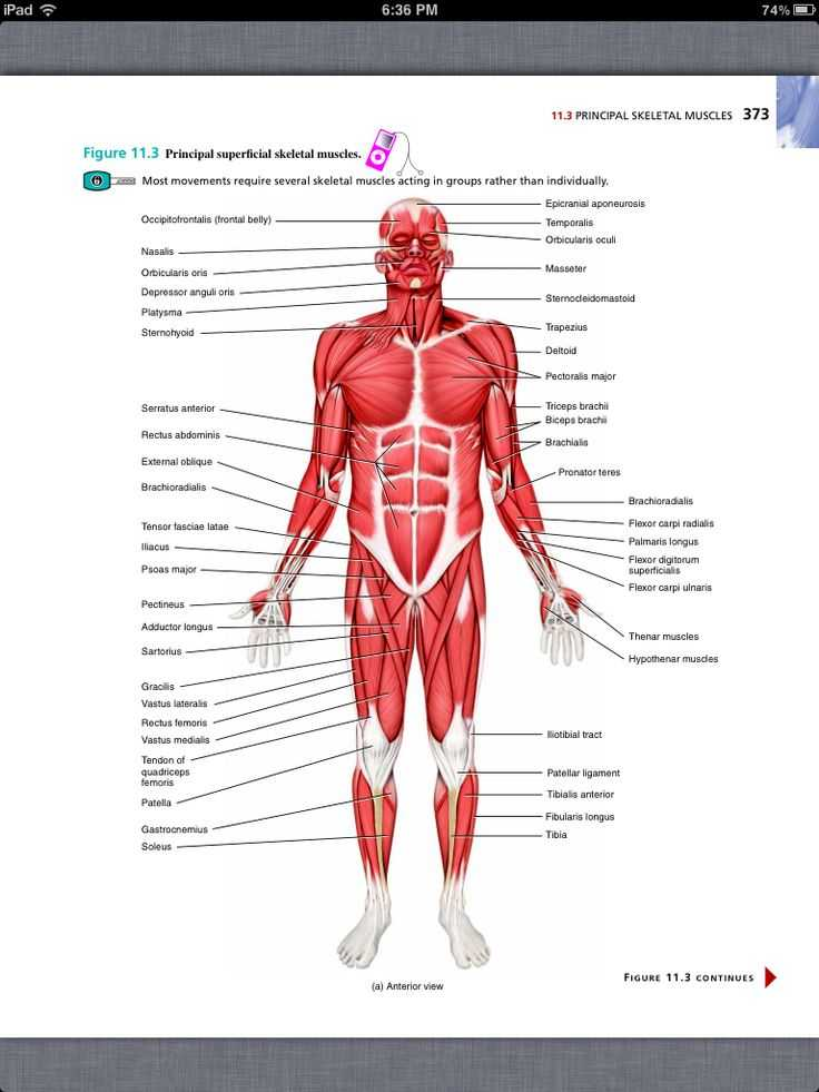 Chapter 11 the Cardiovascular System Worksheet Answer Key together with Ziemlich Best Human Anatomy and Physiology Book Zeitgenössisch