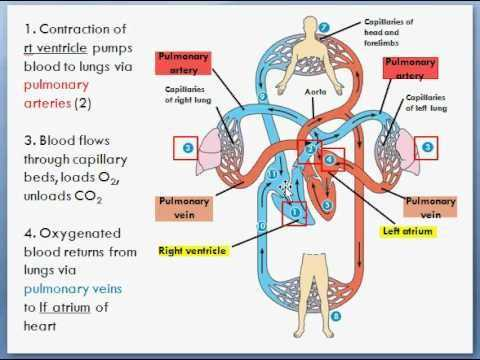 Circulatory and Respiratory System Worksheet as Well as 100 Best Heart and Lungs Images On Pinterest