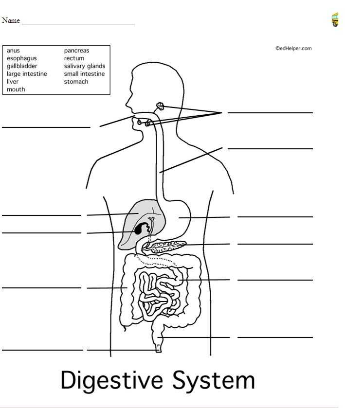 Digestive System Worksheet Pdf Also Human Digestive System Unlabeled Health Reference