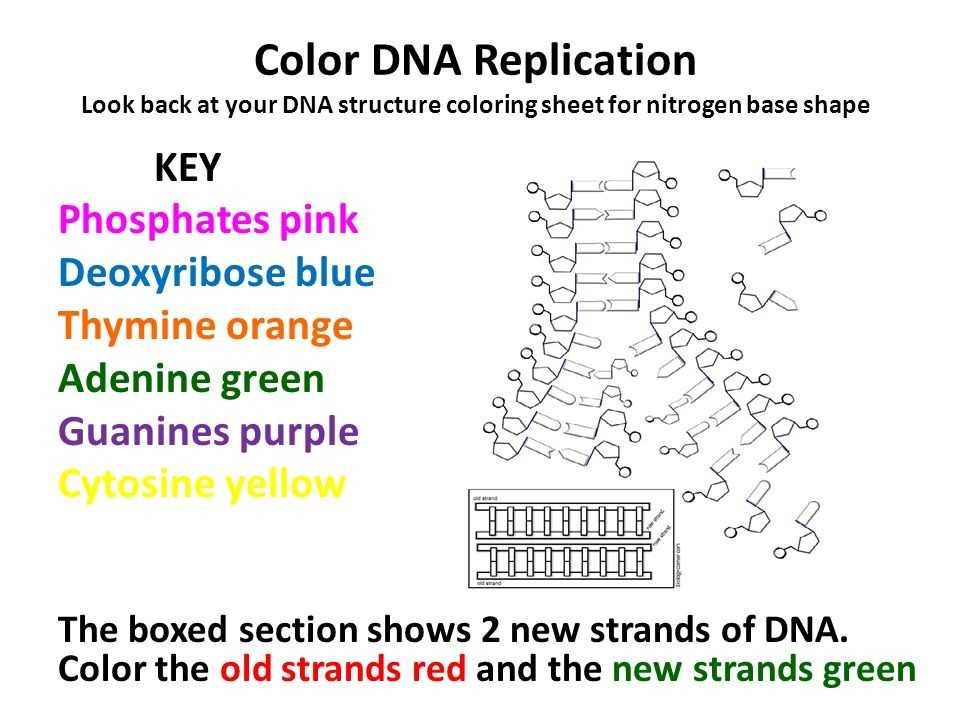 Dna Replication Worksheet Key together with 13 Fresh Dna Worksheet Answer Key Graph