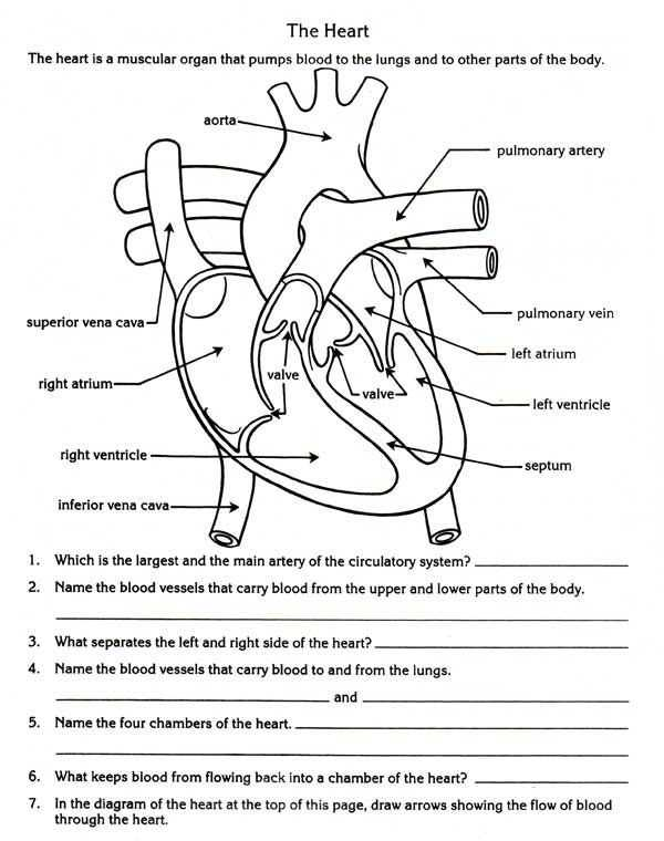 Effects Of Alcohol Worksheet and Free Parts Of the Heart Worksheets