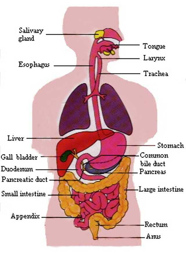 Endocrine System Worksheet Along with Digestive System Anatomy