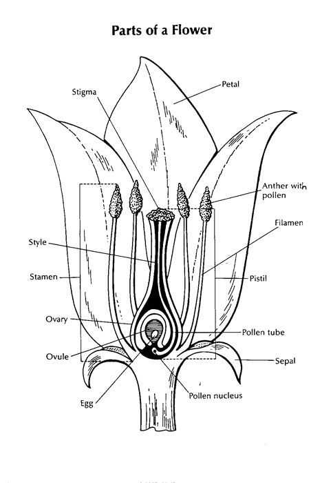 Flower Anatomy Worksheet Key together with 239 Best Botany Fun Images On Pinterest