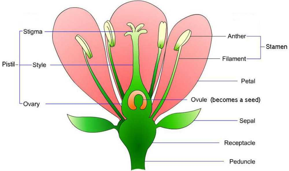 Flower Structure and Reproduction Worksheet Answers with Ausgezeichnet Anatomy A Flowering Plant Ideen Menschliche