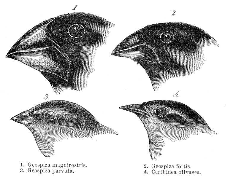 Galapagos island Finches Worksheet Also the 5 Types Of Selection Natural and Not so Natural
