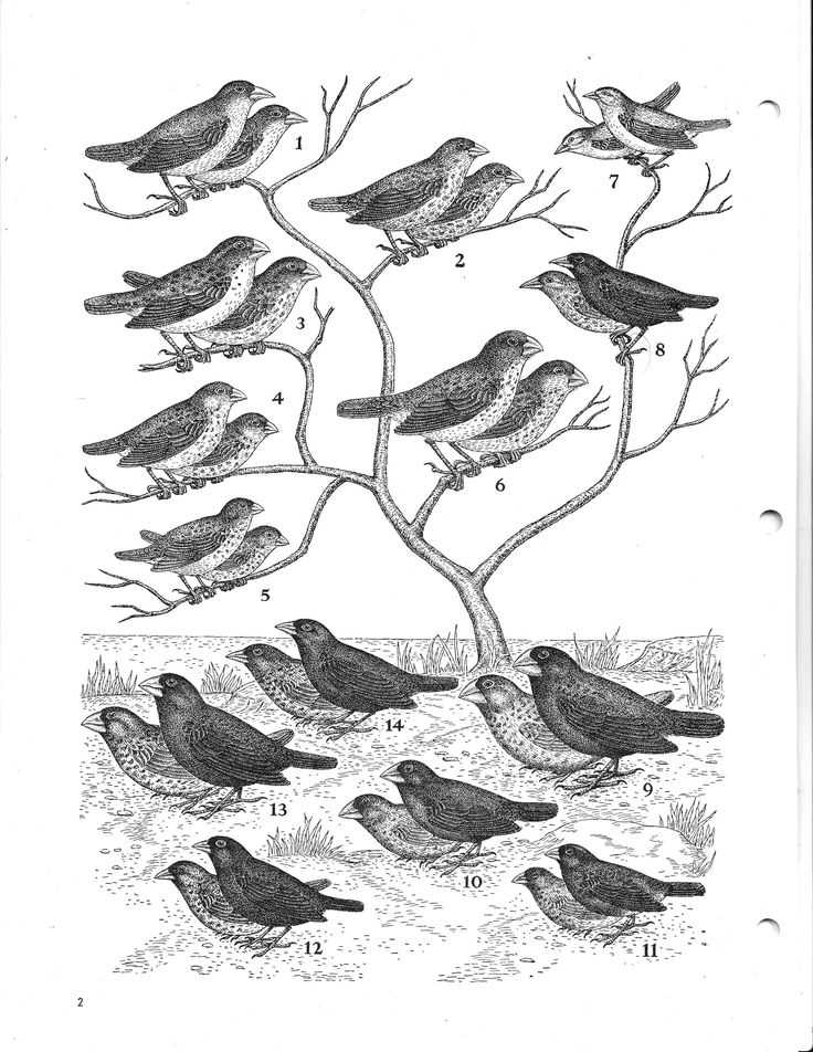 Galapagos island Finches Worksheet and 18 Best Charles Darwin Finches Images On Pinterest