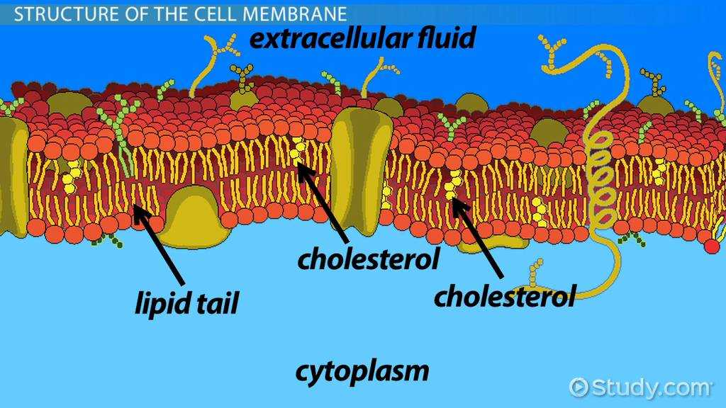 Holt Biology Cells and their Environment Skills Worksheet Answers with why is the Cell Membrane Selectively Permeable Video & Lesson