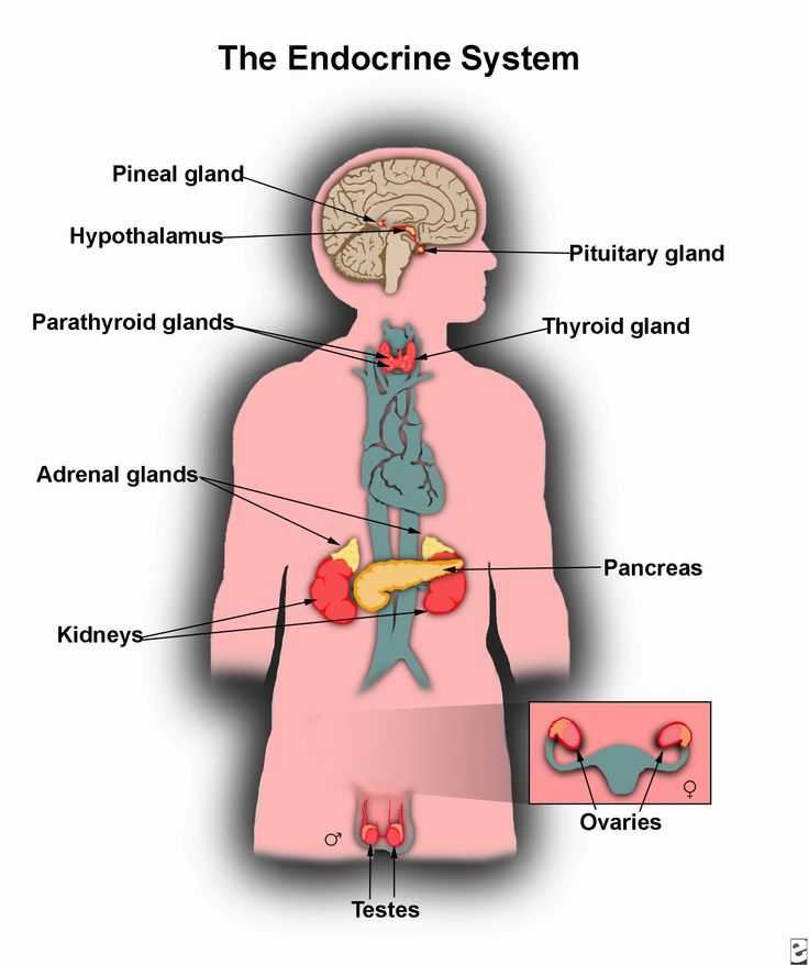 Human Endocrine Hormones Worksheet Key or 21 Best the Explanation Of Endocrine Gland Hormones and Its Function