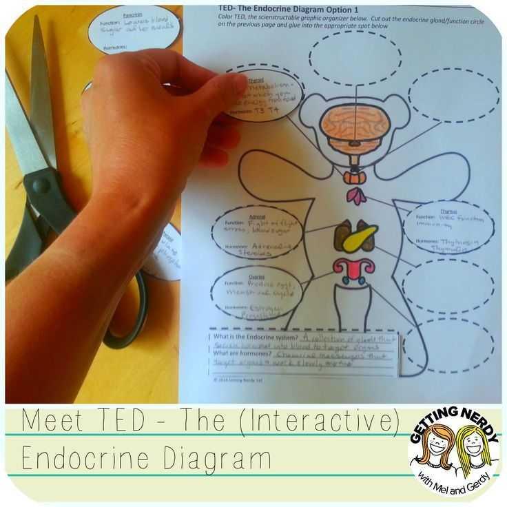 Human Endocrine Hormones Worksheet Key together with Endocrine System