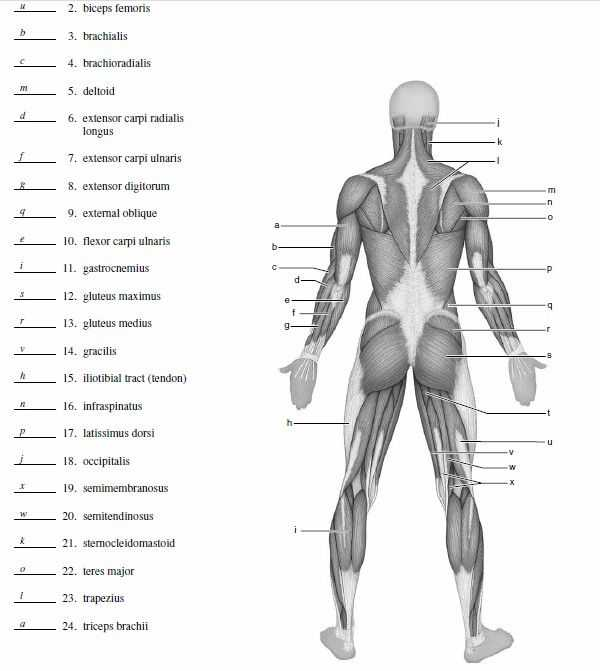 Muscular System Worksheet Along with 25 Best Muscle Blank Images On Pinterest