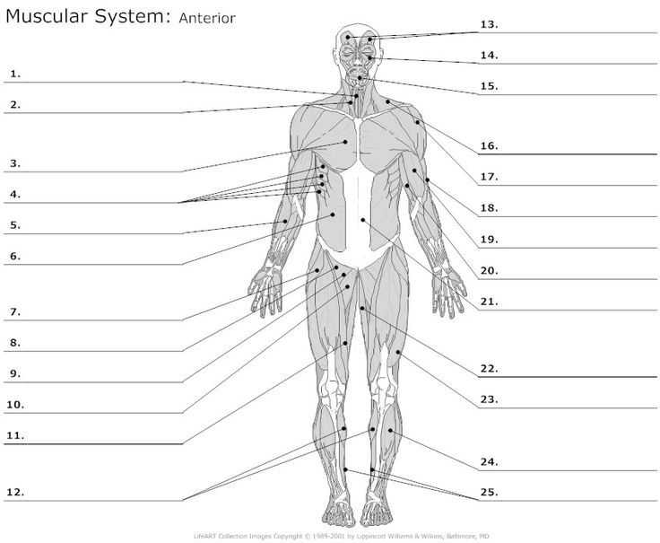 Muscular System Worksheet Also 25 Best Muscle Blank Images On Pinterest