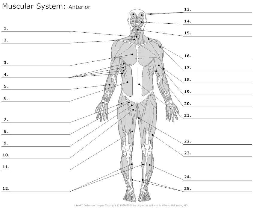 Muscular System Worksheet Answers together with Learn Anterior Muscles by Alysenbeasley6 Memorize