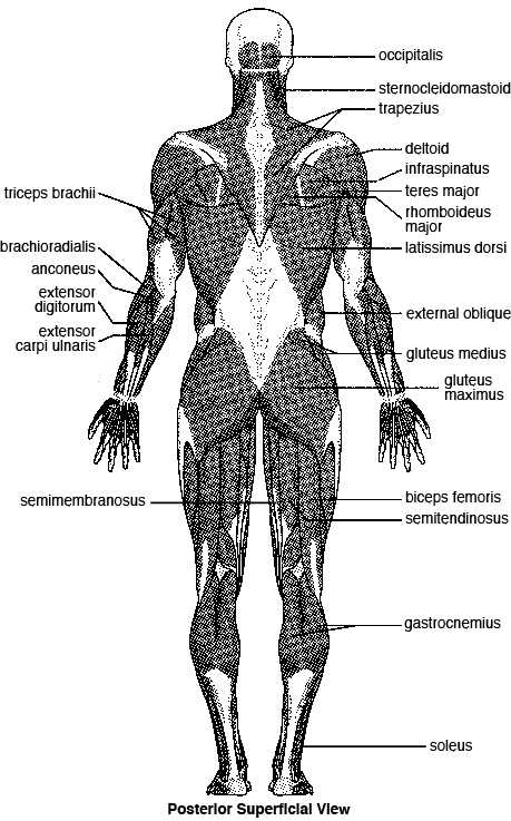 Muscular System Worksheet Answers together with Major Skeletal Muscles