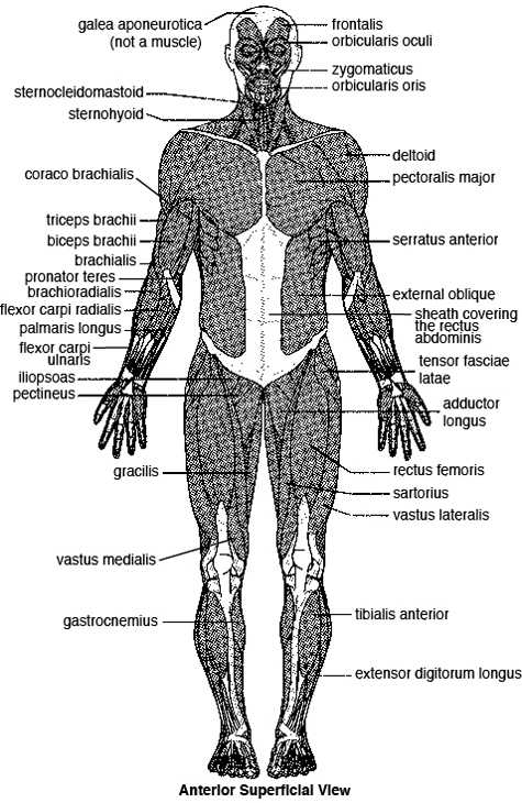 Muscular System Worksheet Answers with Major Skeletal Muscles