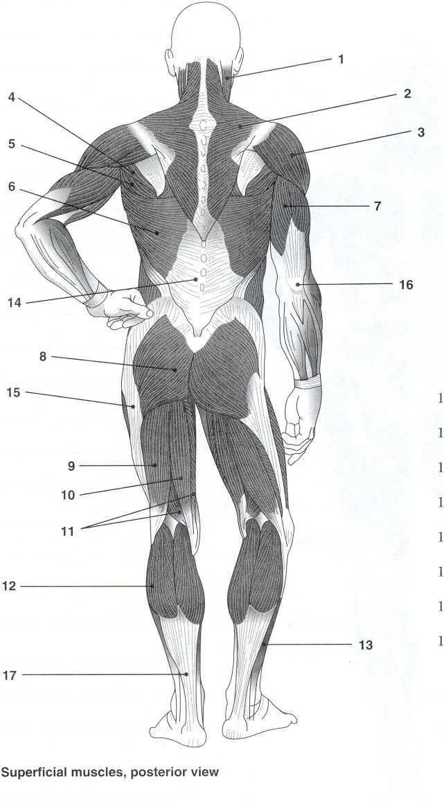 Muscular System Worksheet together with 223 Best A&p Images On Pinterest