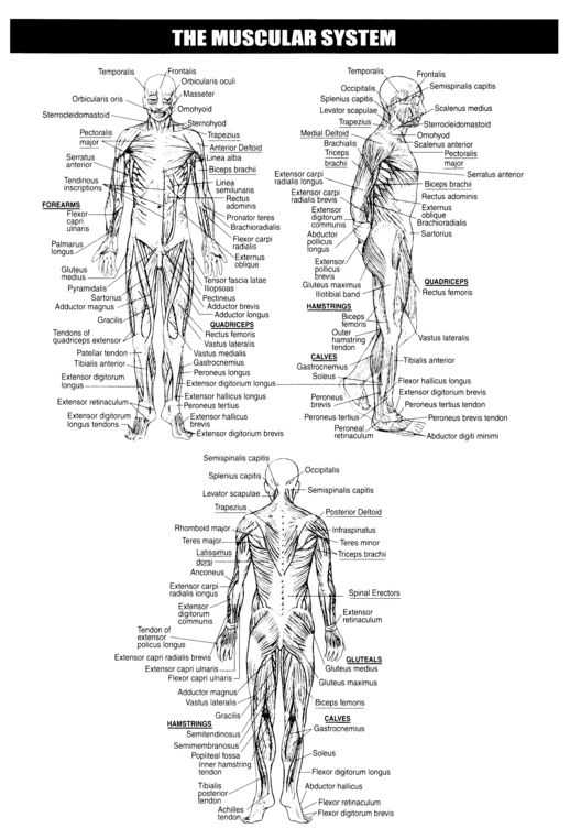 Muscular System Worksheet with 105 Best A&p Lab Study Material Images On Pinterest