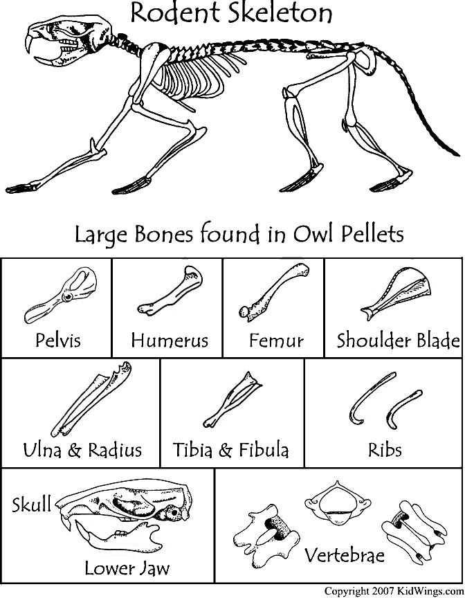 Owl Pellet Dissection Worksheet and 75 Best Owl Pellets Images On Pinterest