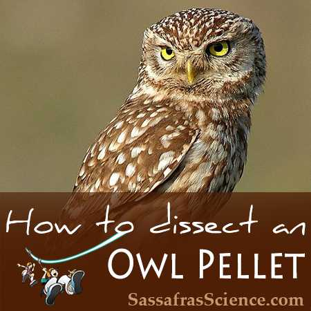Owl Pellet Dissection Worksheet together with How to Do Your Own Owl Pellet Dissection Printable Included