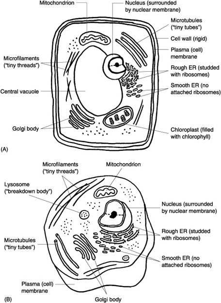 Plant Cell Coloring Worksheet Answers together with 147 Best Ag Biology Cells Viruses & organelles Images On