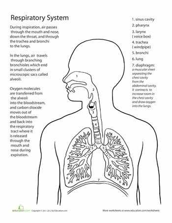 Respiratory System Worksheet Also 88 Best A&p Respiratory System Images On Pinterest