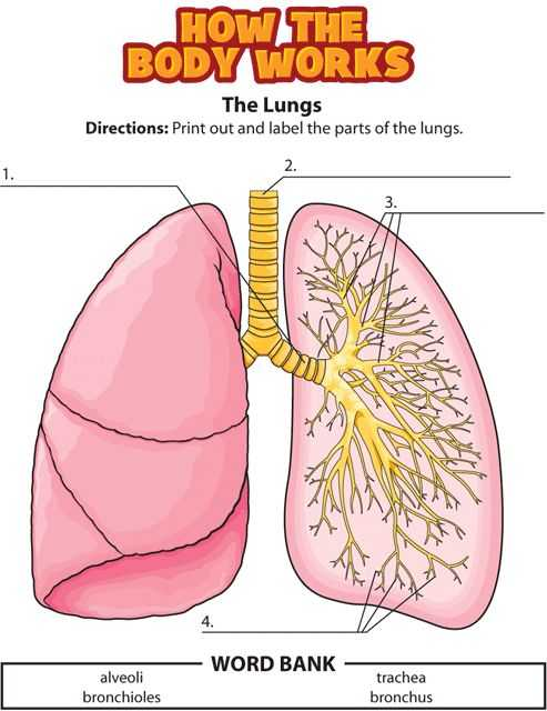Respiratory System Worksheet or 12 Best Respiratory System Images On Pinterest