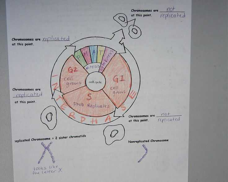 The Cell Cycle Coloring Worksheet Questions Answers or 110 Best Cells Mitosis Images On Pinterest