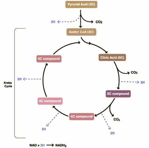 The Krebs Cycle Student Worksheet and 25 Best the Krebs Cycle Images On Pinterest