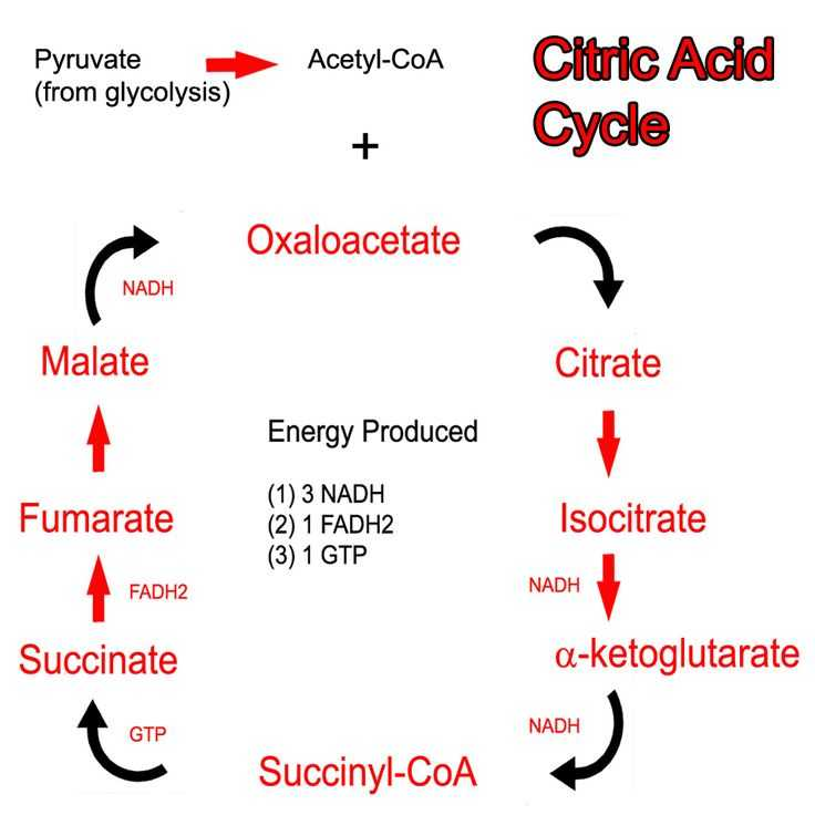 The Krebs Cycle Student Worksheet as Well as 42 Best Citric Acid Cycle Images On Pinterest