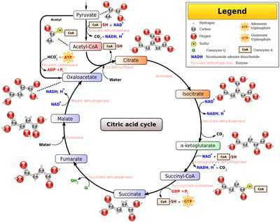 The Krebs Cycle Student Worksheet with Cellular Respiration Glycolysis Citric Acid Cycle