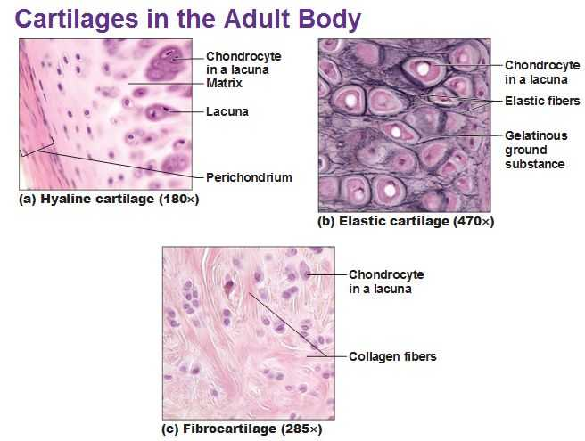 Tissue Worksheet Section A Intro to Histology as Well as 11 Best Chapter 5 Histology Images On Pinterest