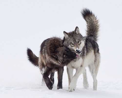 Wolves In Yellowstone Worksheet Along with 10 Best Wolf Images On Pinterest