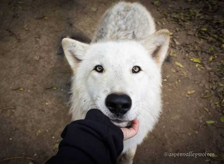 Wolves In Yellowstone Worksheet Along with 2742 Best Wolves Images On Pinterest