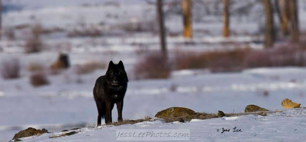 Wolves In Yellowstone Worksheet Along with 302n n E Of the Most Interesting Wolves In Yellowstone 302 is