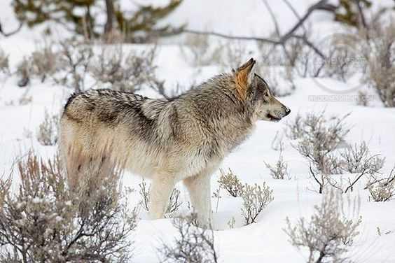 Wolves In Yellowstone Worksheet or Master Guitarist John Sheldon Creates Memorial song for Yellowstone