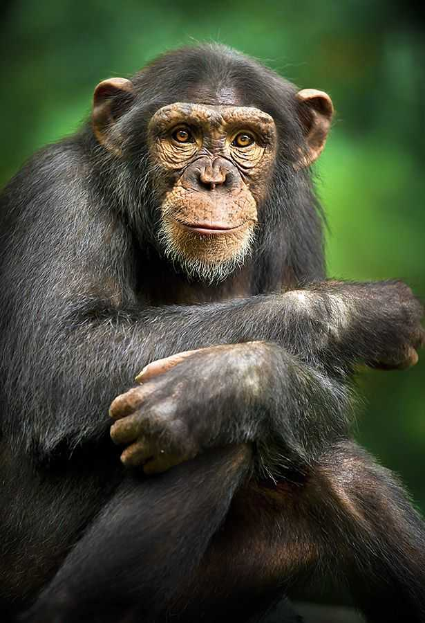 Among the Wild Chimpanzees Worksheet Answers together with 398 Best Montessori Science Teaching Images On Pinterest