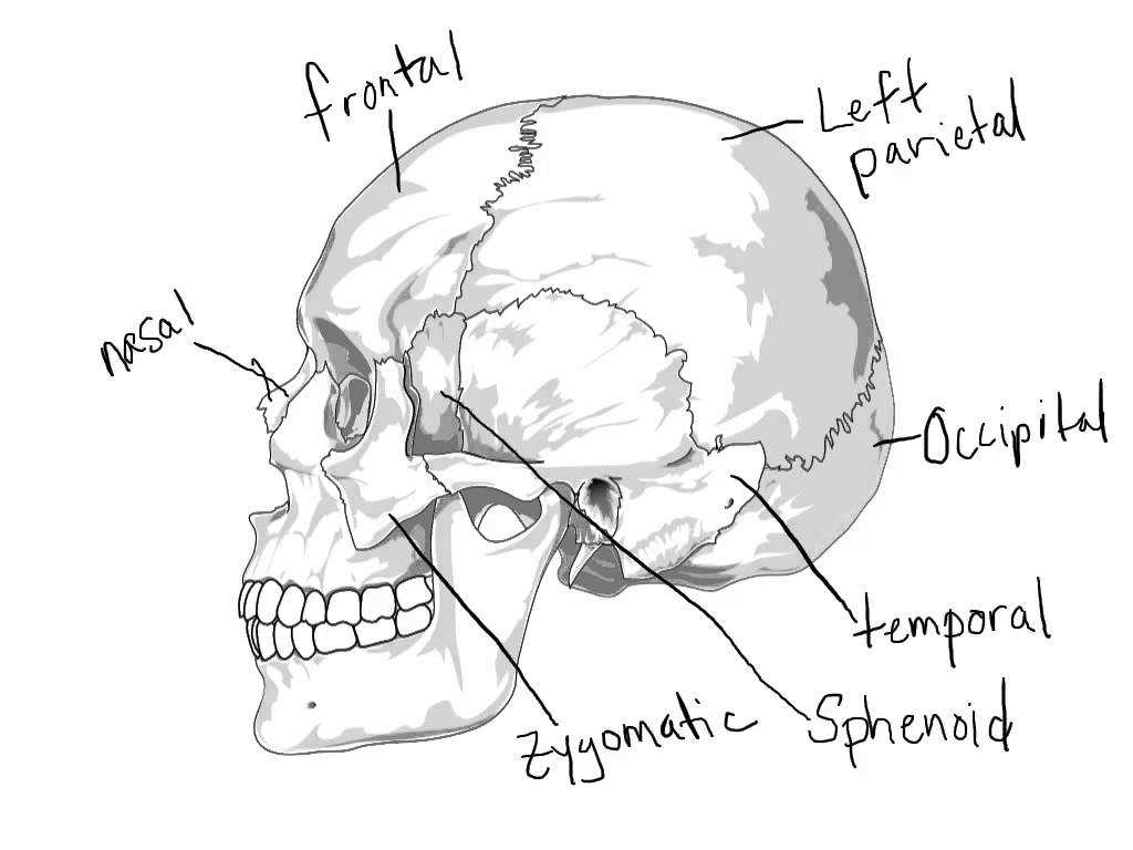 Anatomy and Physiology Worksheets Along with Anatomy Skull In Skeletal System Skeletal System Skull 1