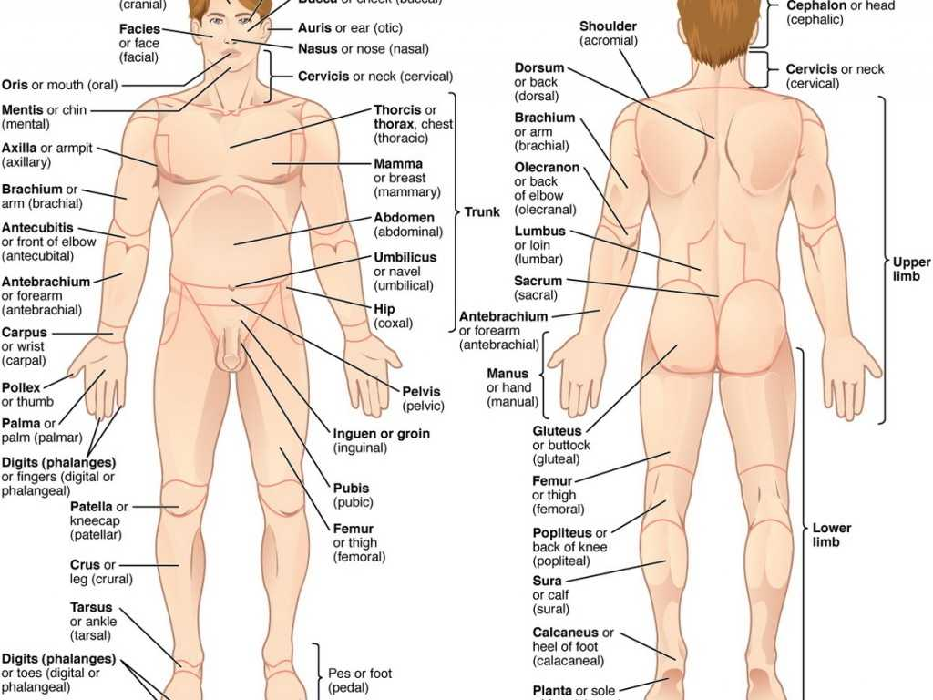 Anatomy and Physiology Worksheets Also Major organ Locations Major organs Body Fosfe Anatomy C