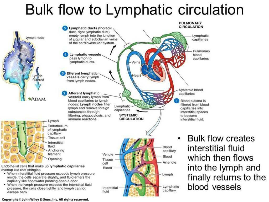 Anatomy and Physiology Worksheets as Well as Human Anatomy the Lymphatic System Ppt