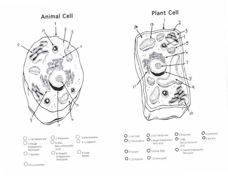 Animal Cell Coloring Worksheet and 93 Best Cell Structures Images On Pinterest
